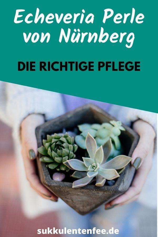 Die Ultimativen Pflege Tipps Fur Die Perle Von Nurnberg Sukkulenten Echeveria Pflanzen Pflege