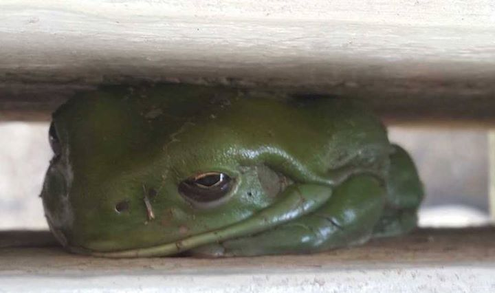 This grumpy fellow is a Green Tree Frog (Litoria caerulea). Photo by: Rosalie Neve