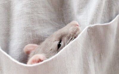 Mouse in a pocket.