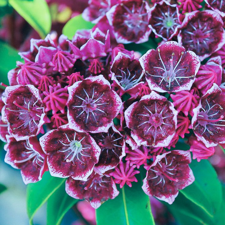 Learn all the details on how to grow and plant Mountain Laurel (Kalmia latifolia), an evergreen shade loving shrub with beautiful spring flowers.