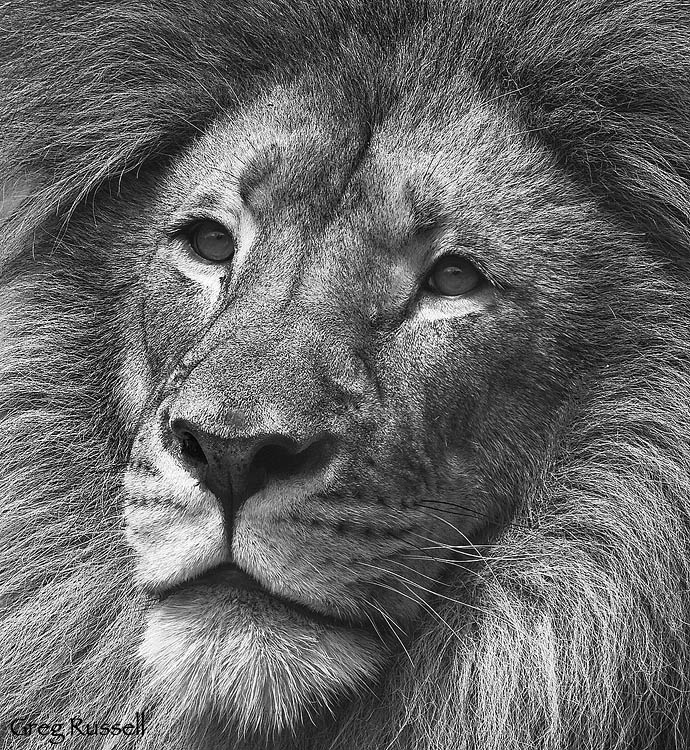 I just found a new favorite Photographer- Greg Russell.  His at-home-ness in the American West and love of capturing beauties of nature both resonate with me, and is very inspiring as I continue with my own little endeavors to shoot wildlife films.  And this Lion makes my heart stop, if he were a landscape I'd think it were an Ansel Adams. -KWA