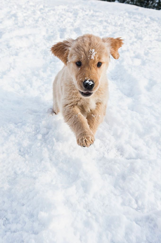 A cute nine week old Golden Retriever puppy playfully running in the snow in the backyard of a home. #goldenretriever