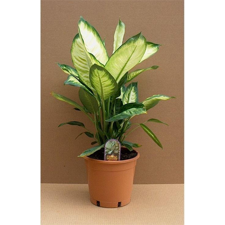 Find 175mm Dieffenbachia Dumb Cane at Bunnings Warehouse. Visit your local store for the widest range of garden products.