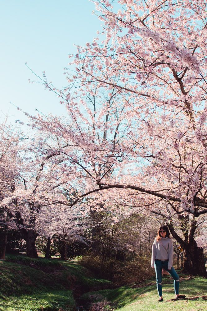 Kenwood Cherry Blossoms Experience Peak Bloom Without The Crowds Travel Photography Road Trip Fun Travel Inspiration