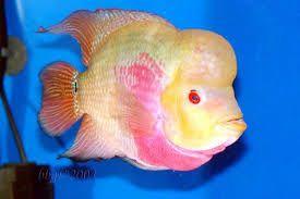 Image result for flowerhorn fish images download