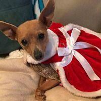 Bellbrook, Ohio - Chihuahua. Meet Jade, a for adoption. https://www.adoptapet.com/pet/14708420-bellbrook-ohio-chihuahua