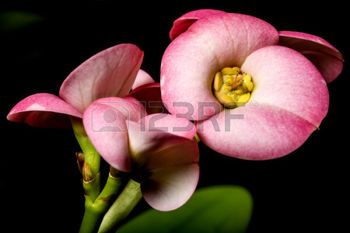 spurge plant: Christs thorn