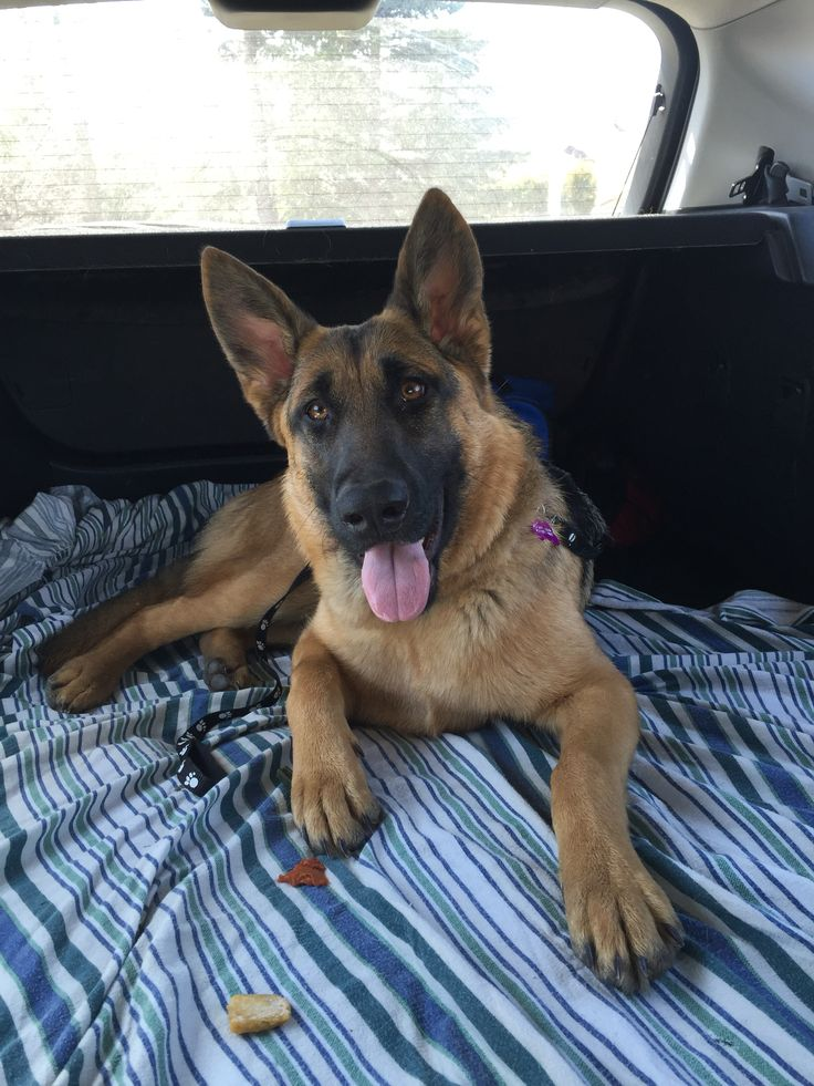 GSD From your friends at phoenix dog in home dog training