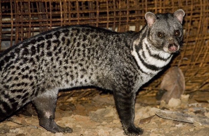 Asian Palm Civet | Asian Palm Civet
