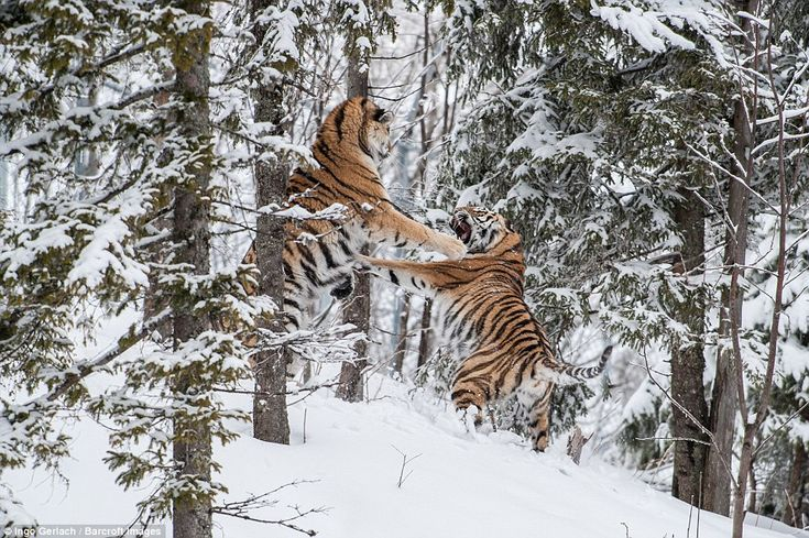 Endangered Siberian tigers caught in snowy scuffle in Sweden over female