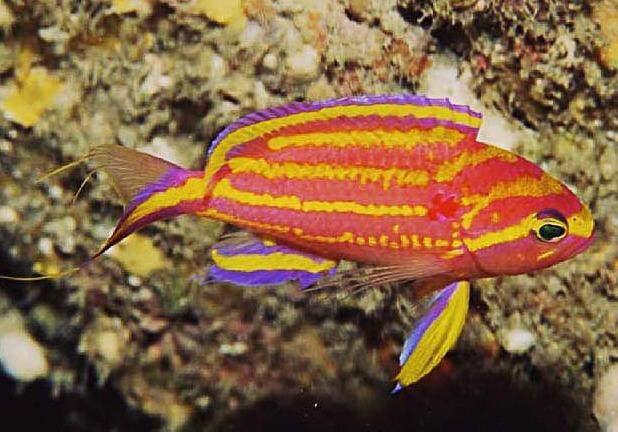 17 best images about reef safe fish on pinterest for Rare saltwater fish
