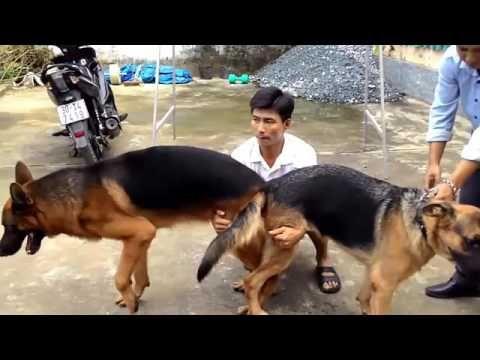 Siberiano Perros apareamiento en la calle