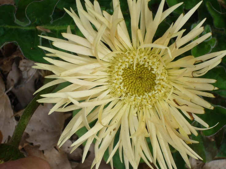 One of many Spider Gerbera's.