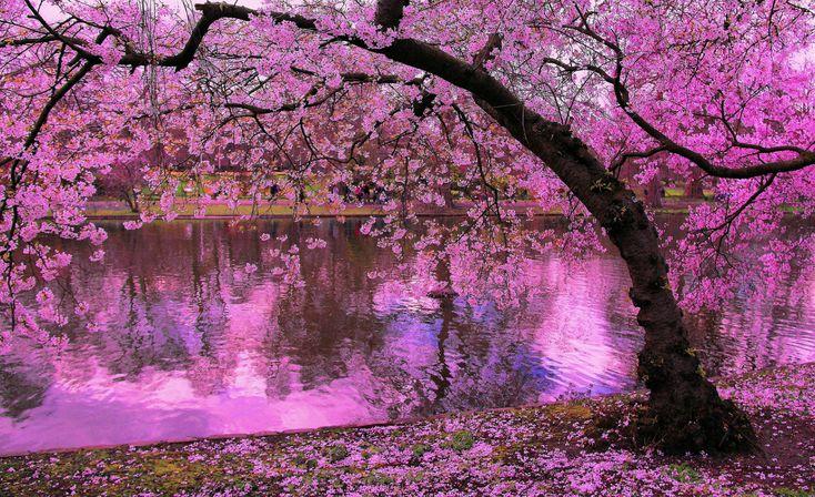 cherry blossom - Cerca con Google