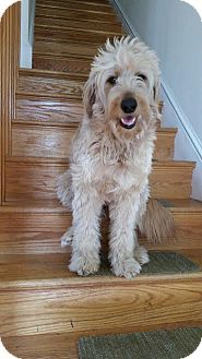 Baltimore, MD - Goldendoodle Mix. Meet Lucy (COURTESY POST), a dog for adoption. http://www.adoptapet.com/pet/17590716-baltimore-maryland-goldendoodle-mix