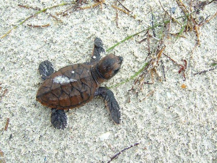 Guadeloupe: kde a kdy můžeme vidět mořské želvy?