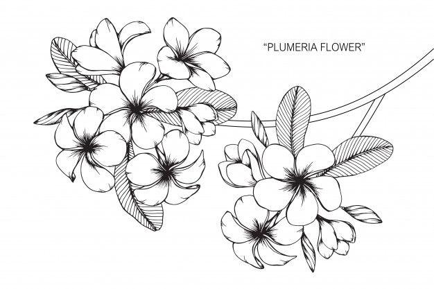 Plumeria Flower Drawing Illustration Flower Drawing Vine Drawing Frangipani Tattoo