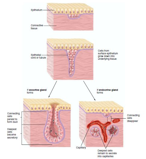 Exocrine glands and endocrine glands differ in where they secrete their substances. Exocrine glands secrete their substances through a duct; endocrine glands secrete their substances (hormones) directly to blood for blood transport.