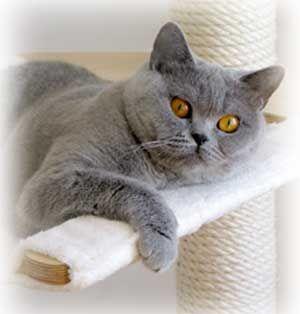 Wesen und Charakter der Britisch Kurzhaar Katzen Die Haltung der der Britisch Kurzhaar Katze (abgekürzt auch BKH genannt) ist völlig unproblematisch. Die s