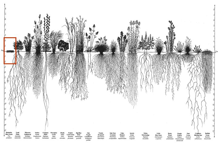 Root systems of prairie plants. Heidi Natura, Conservation