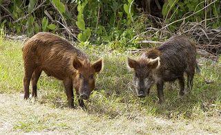 Razorback: É um mamífero híbrido entre um porco-doméstico e um javali. Existe também em estado selvagem.