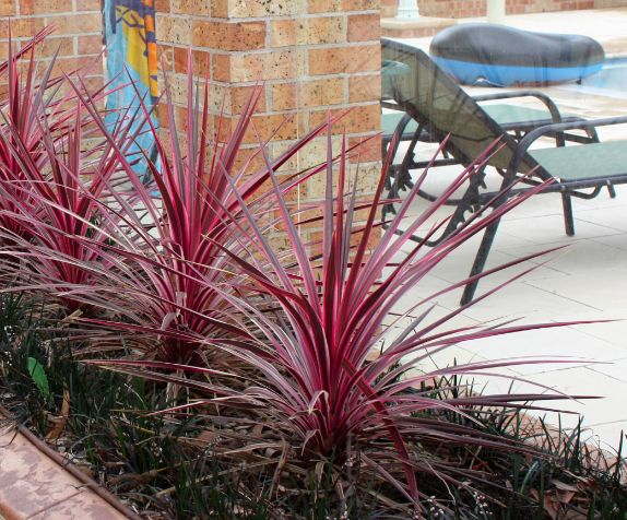 248 best landscape gardening plants images on pinterest native sunrise cordyline is a much more heat tolerant plant than other pink cordylines thecheapjerseys Image collections
