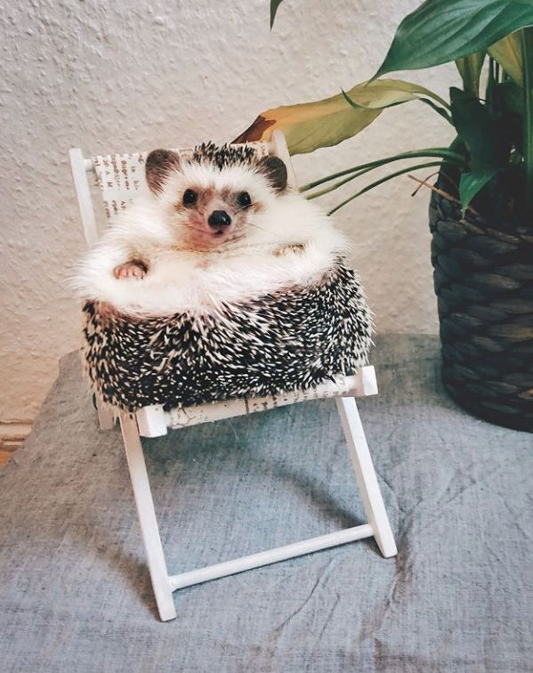 Hedgehog sitting down on a chair#dogs #kitty #lovecats #kittens #animals #ねこ #animal #kitten #cat #pets #ilovemycat #love #catoftheday #happynewyear #adorable #catlover #pet #meow #猫 #cute #pinterest #It'sADogsLife