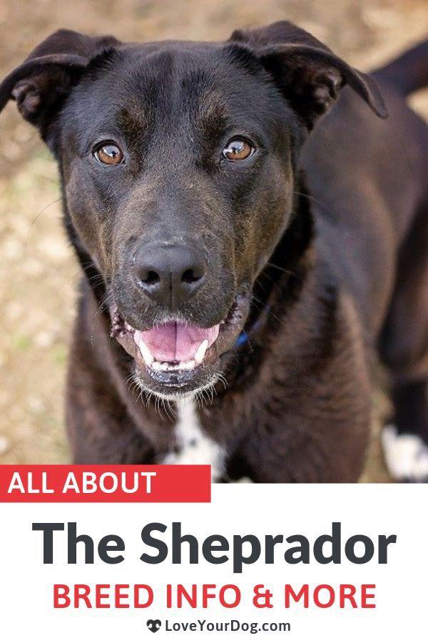 German Shepherd Labrador Mix Sheprador Puppies Prices More Labrador Retriever Labrador Mix Labrador Retriever Puppies