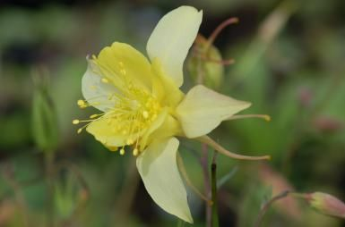 """Learn the Facts about Columbine Flowers: The long, narrow objects trailing to the right of this yellow columbine flower are the """"spurs"""""""