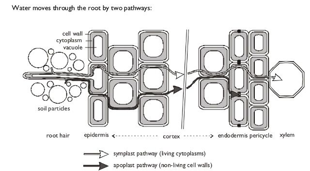 Apoplastic Amp Symplastic Pathways Aqa As Biology Unit 2
