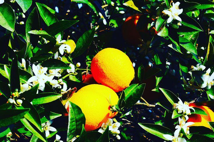 Cypryjskie owoce: pomarańcze/Cypriot fruits: oranges #cypr #cyprus #północnycypr #northcyprus