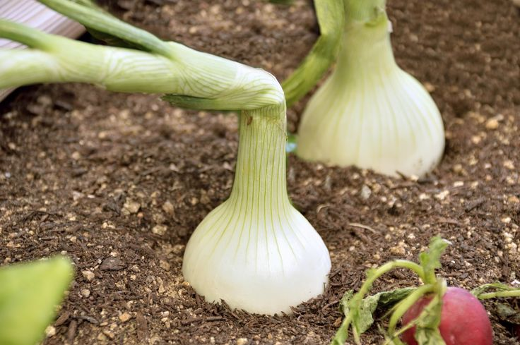 To new gardeners, rolling down onion tops may seem like a questionable thing to…