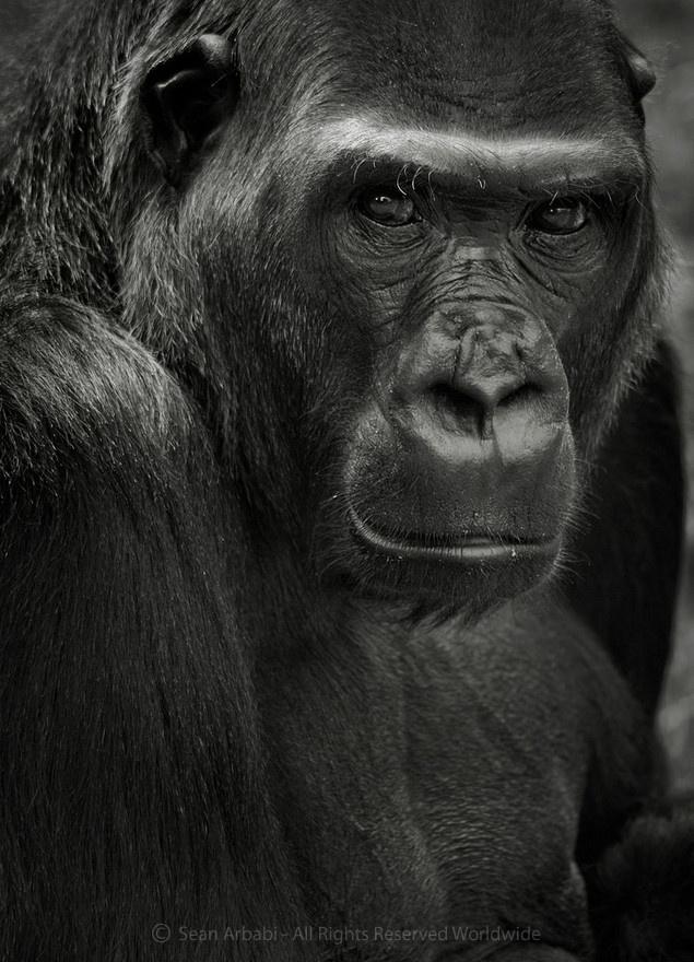 A wonderful face - female gorilla, San Francisco Zoo - © Sean Arbabi | seanarbabi.com (all rights reserved worldwide)