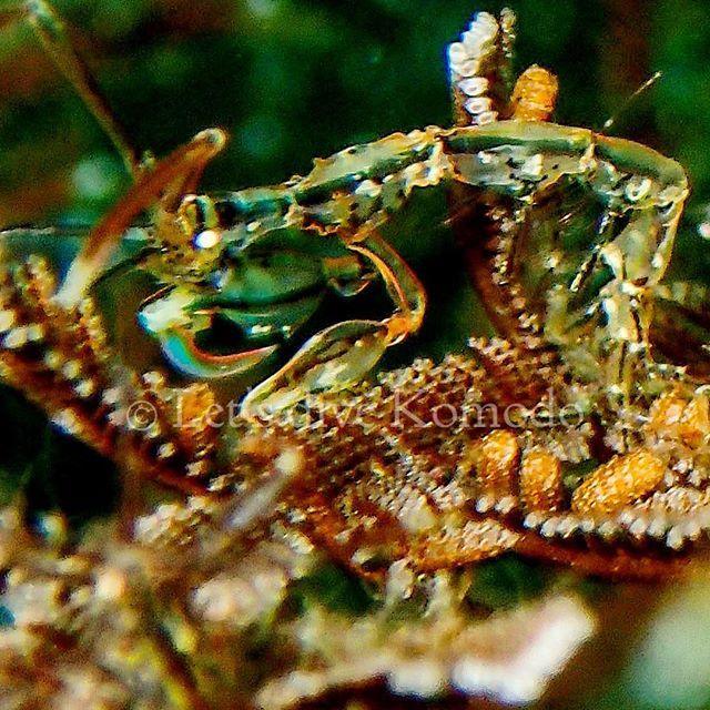 Skeleton #shrimp aka #ghost shrimp, blending in perfectly with its surroundings!  #komodo #labuanbajo #macro #macro_captures #scuba #diving #creature #ocean #sea #underwater #photography #explore #coral #reef #lovemyjob #livetoscuba #travel #adventure #nature #bg_underwater #just4diver #instadive #instadaily #photooftheday #instafollow #exploremore #indonesia