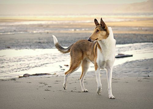 Smooth collie.... I used to think they look really weird, but now they've grown on me :)