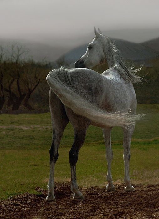 Arabian horse - title 'West Wind' Photo by Photographer Wojtek Kwiatkowski - from photo.net