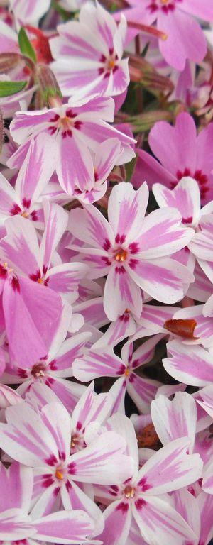 Pink Flower Garden, Japan