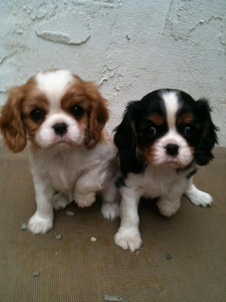 This is the breed of dog I want--Cavalier King Charles.
