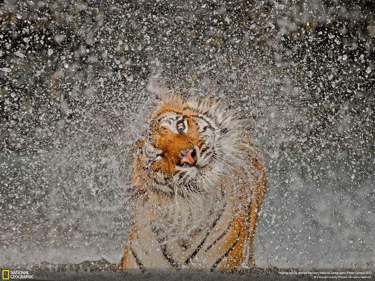Tiger Bathing - Khao Kheow Open Zoo, Thailand