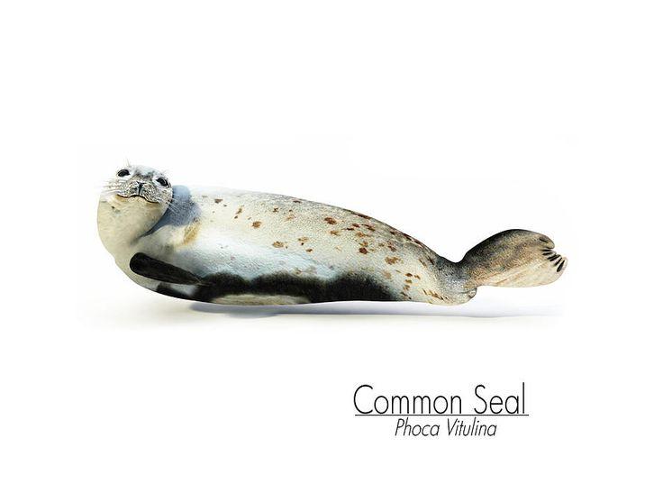 Common Seal (Phoca Vitulina) Portrait.