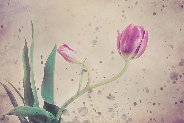 Stained Tulip by Cristina-Velina Ion