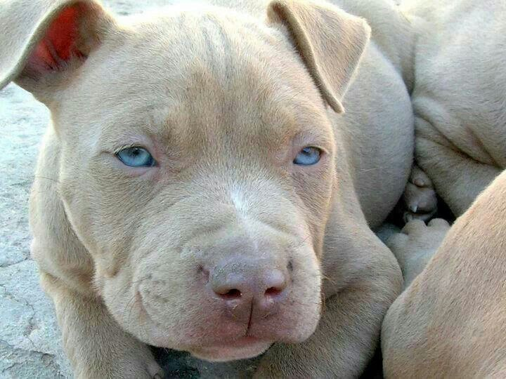 973 Best Images About Pit Bull S Staffordshire Terrier