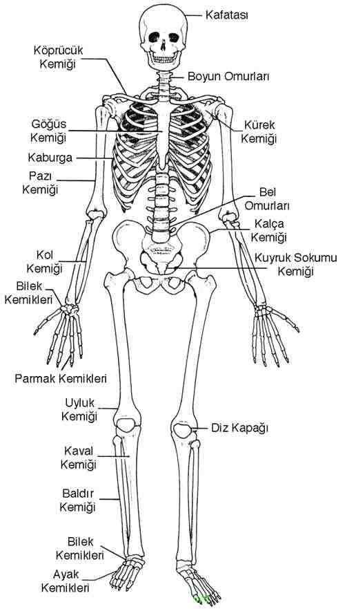 Vücudumuzdaki Kısa, Uzun ve Yassı Kemikler İnsanda destek ve hareket sistemi, iskelet sistemi ve kas sistemi olmak üzere iki farklı sistemden meydana gelir. Bu iki sistem insan vücudunun hareketini sağladığı gibi vücuda şekil de verir. İSKELET SİSTEMİ İskelet sistemi; kemik, kıkırdak ve...  www.muhteva.com ziyaretinizi bekleriz.