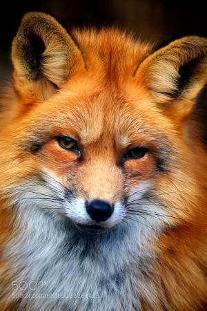 """A Red Fox: """"What A Beauty."""" by oldrose"""