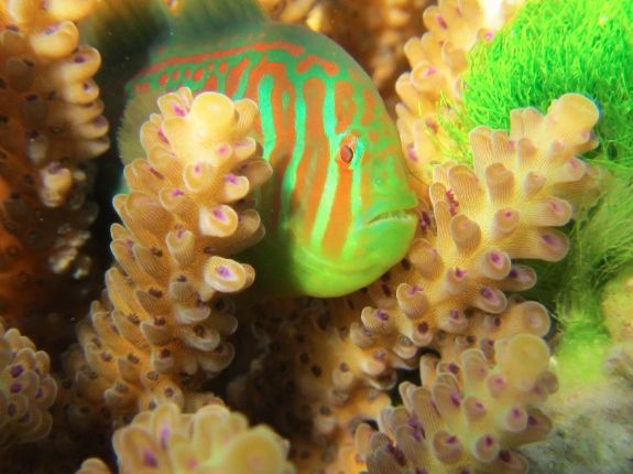When coral gets choked by seaweed, it calls out for help - and goby fish come to the rescue...