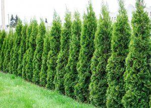 Thuja Smaragd till gränsen mot skogen