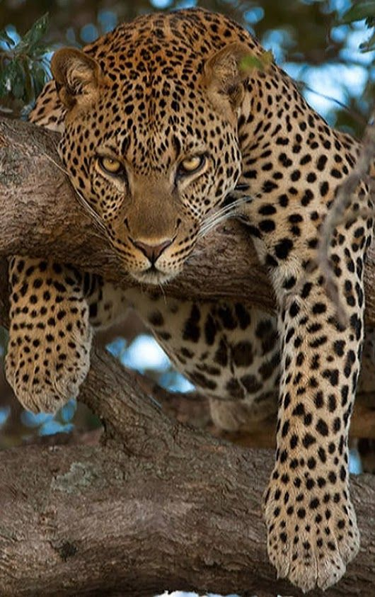 Amazing African Leopard resting in a tree. Intense stare!