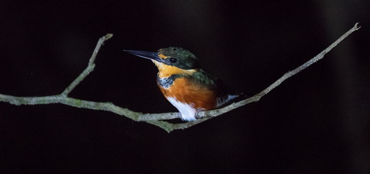 Ian.Kate.Bruce's Wildlife posted a photo:  A night paddle on the Angu River and a superb sighting of this tiny forest kingfisher. No more than five inches long the American Pygmy Kingfisher usually perches quietly and secretly under dense riverside vegetation so we were delighted to find this one at the vegetation edge.  Occupying dense forests from Mexico throughout the Amazon basin to Brazil this one, the female, on the Angu River, Yasuni National Park, Ecuador.