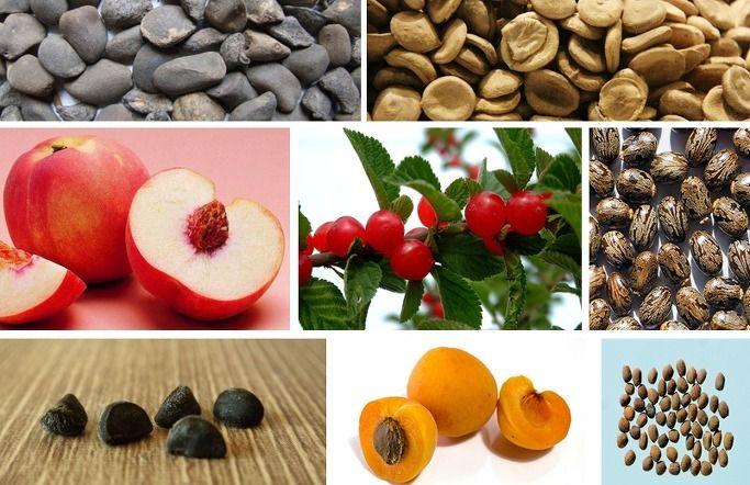 식품으로 섭취할 수 없는 씨앗