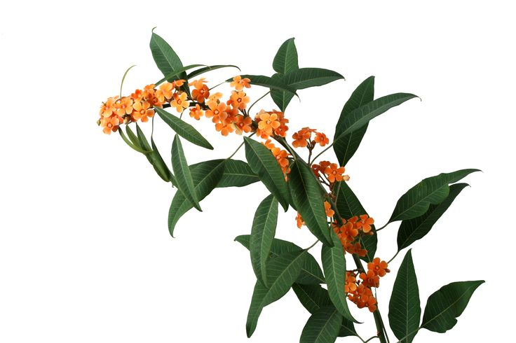 Euphorbia fulgens / korallityräkki